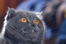 Free Scottish Fold Cat Royalty Free Stock Photo - 4918435
