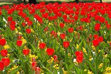 Free Tulips Royalty Free Stock Photos - 4919958