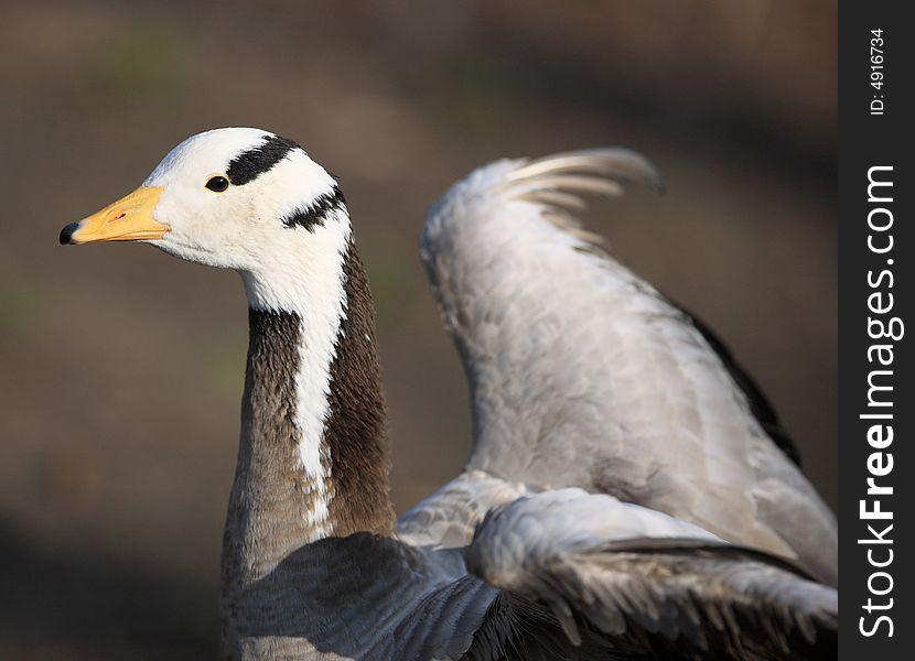 Goose portrait - high detail