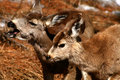 Free Mule Deer 4 Royalty Free Stock Image - 4920886