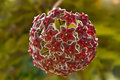 Free Ball Of Star Flowers Royalty Free Stock Photos - 4923758