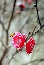 Free Spring Peach Flowers Royalty Free Stock Photos - 4926408