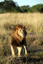 Free Majestic Lion Standing In The Grass Stock Photo - 4927910