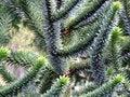 Free Spike Tree Stock Photo - 4929280