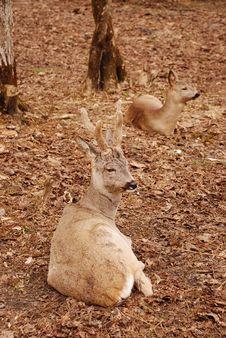Free Roe Deer Stock Photo - 4921010