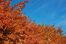 Free Red Autumn Leaves Royalty Free Stock Photography - 4921047