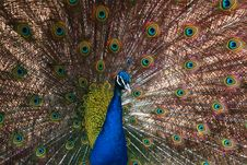 Free The Peacock Spreading Feathers Stock Photos - 4921343