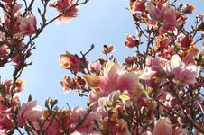 Free Pink Flowers In The Sky Royalty Free Stock Photos - 4921568