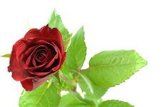 Free Red Rose And Leaf Stock Photo - 4922750