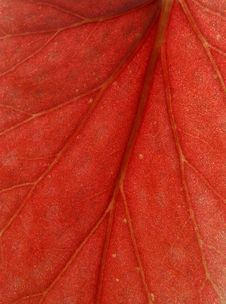 Free Red Leaf Macro Royalty Free Stock Image - 4923116