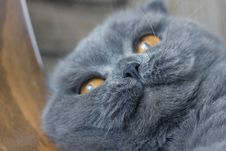 Free Scottish Fold Cat Stock Photo - 4923420