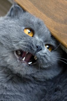 Free Scottish Fold Cat Stock Images - 4923474