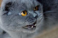 Scottish Fold Cat Samurai Stock Photo