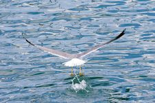 Free Seagull Take Off Stock Photography - 4923762