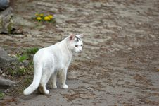 Free White Stray Cat Walking Royalty Free Stock Photo - 4924125