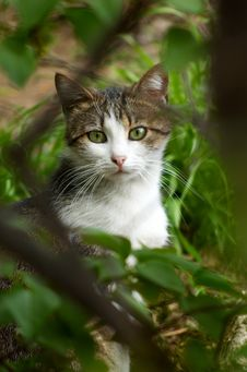 Free Stray Cat Hiding In The Bush Royalty Free Stock Photo - 4924135