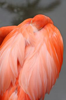 Free Pink Flamingo Royalty Free Stock Photos - 4924818