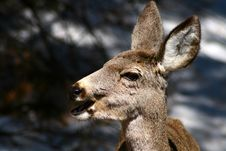 Free Mule Deer 8 Stock Images - 4925094