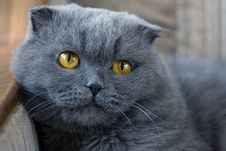 Free Scottish Fold Cat Stock Image - 4925161