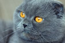 Free Scottish Fold Cat Stock Photography - 4925262