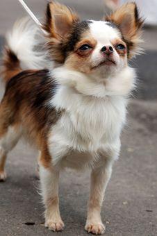Free Pretty Chihuahua Royalty Free Stock Image - 4925616