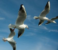 Free Close-up Of Seagulls Royalty Free Stock Photography - 4926967
