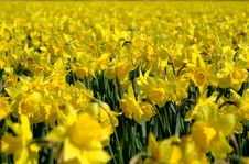 Free Yellow Jonquil Field Stock Photos - 4927883