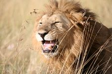 Free Majestic Lion Standing Growling In The Grass Stock Image - 4927921