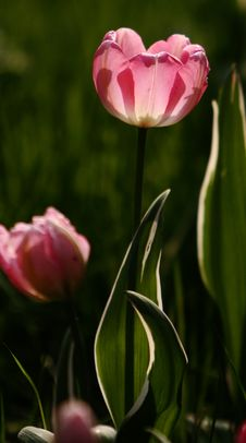 Free Pink Tulips Stock Photos - 4928063