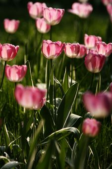 Free Pink Tulips Stock Photography - 4928192