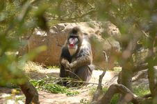 Free Pensive Primate Royalty Free Stock Photography - 4928237