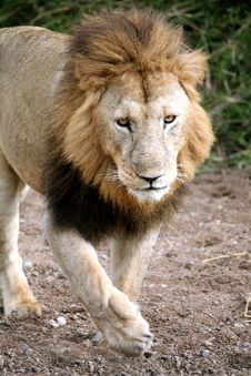 Free Lion Walking Through A Dried River Bed Stock Image - 4928361