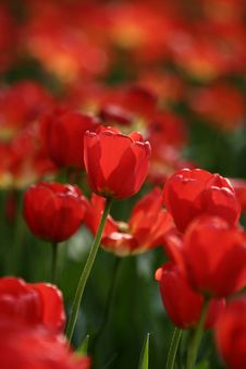 Free Red Tulips Stock Image - 4929201