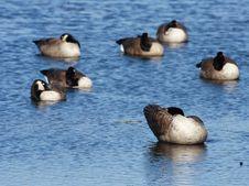 Free Preening Canada Geese Royalty Free Stock Image - 4929636