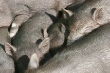 Free Many Sleeping Piglets Stock Photos - 4929763