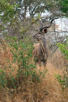 Free Kudu Bull Royalty Free Stock Photography - 4929927