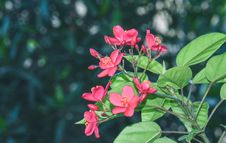 Free Bright Pink Five Petal Flowers Royalty Free Stock Photography - 49273877