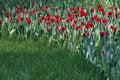 Free Red Tulips Stock Photos - 4932433