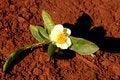 Free Tea Flower Stock Images - 4932804