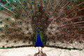 Free Peacock Royalty Free Stock Image - 4935656
