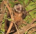 Free Capuchin Monkey-Bolivia Stock Photography - 4935972