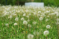 Free Dandelions Royalty Free Stock Photography - 4936997