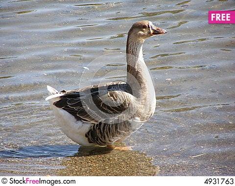Free Long Neck Duck Stock Photos - 4931763