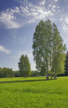 Free Birches Under Blue Sky Stock Photos - 4930323