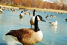 Free Geese In The Pond Royalty Free Stock Images - 4932339