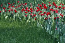 Free Red Tulips Stock Photos - 4932433