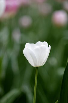 Free White Tulip Royalty Free Stock Photo - 4932755