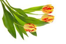 Free Three Tulips Stock Photo - 4933250