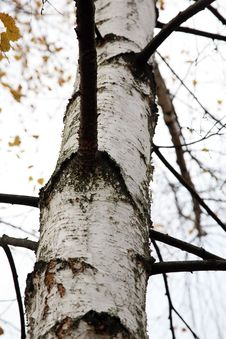 Free Trunk Of Birch Stock Photos - 4933593