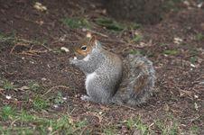 Free Squirrel Royalty Free Stock Photos - 4934068
